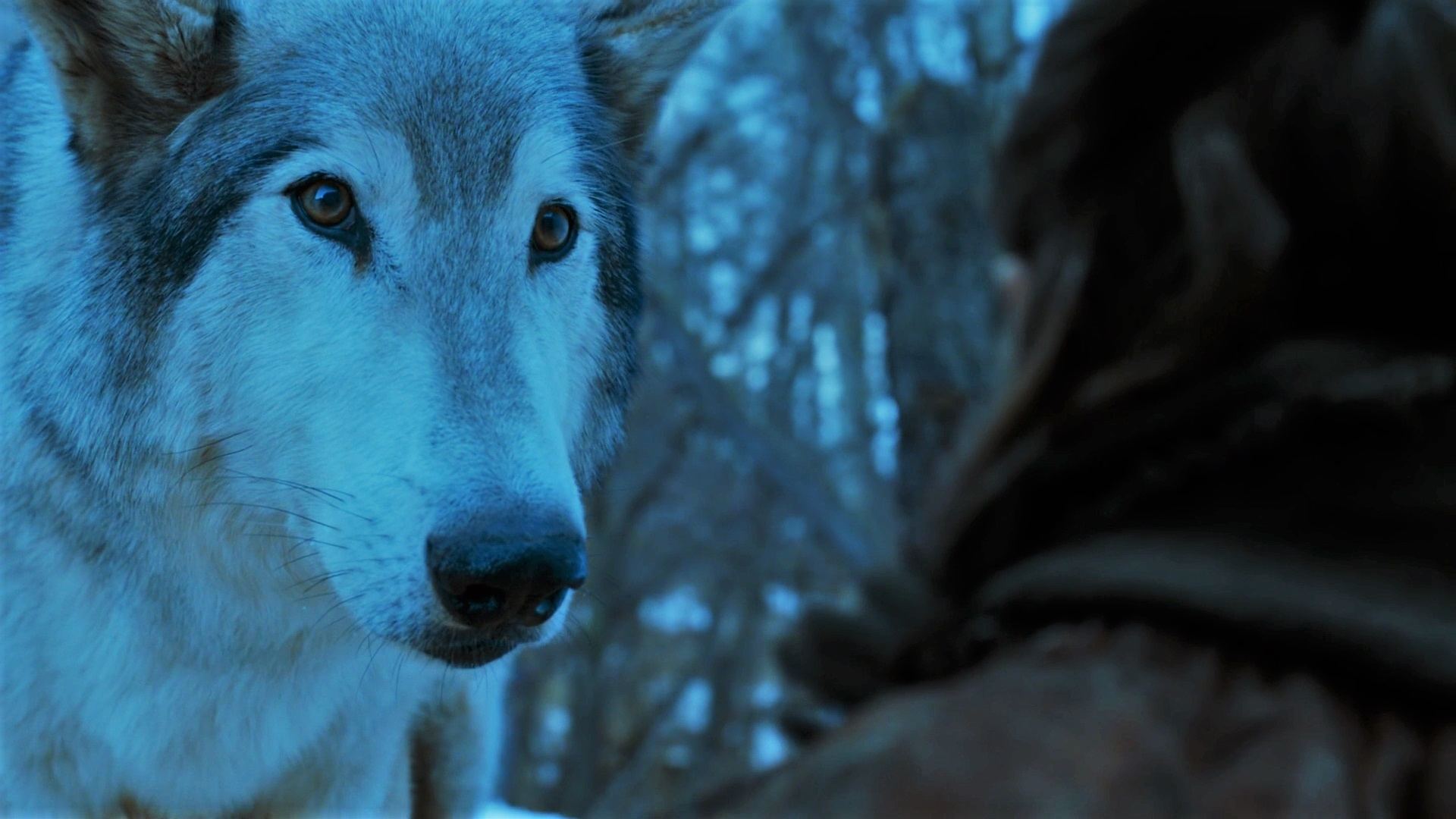Glass Candle Dialogue: Early Predictions for Game of ... Direwolf Game Of Thrones Nymeria